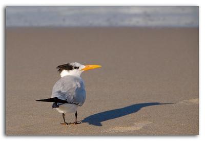 Royal Tern and his Shadow