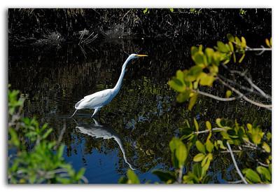 Great White Heron Stalking