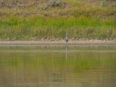 Upper Missouri River Breaks Canoe Trip-Great Blue Heron