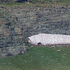 Glacier National Park Big Horn Sheep
