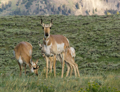 Pronghorn Antelope, Yellowstone National Park.