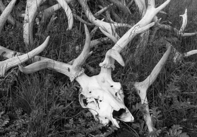 Elk skull and antlers, Yellowstone National Park