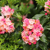 Fancy Gap mountain laurel