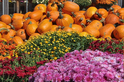 Mums and Lots of Pumpkins :-)