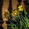3-26-19:  Brownstone Daffodils