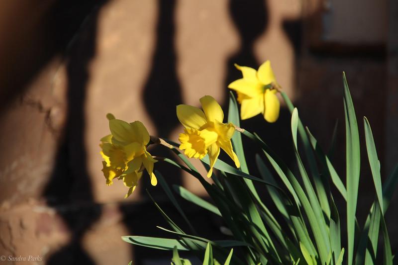 Brownstone daffodils