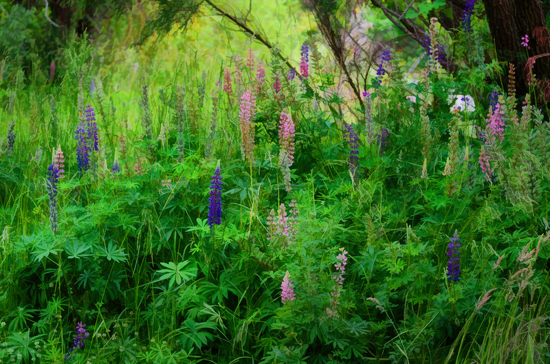 Colourful Lupins
