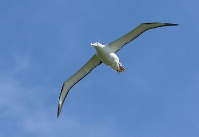 Overscherende Albatros met een spanwijdte van 3 meter.