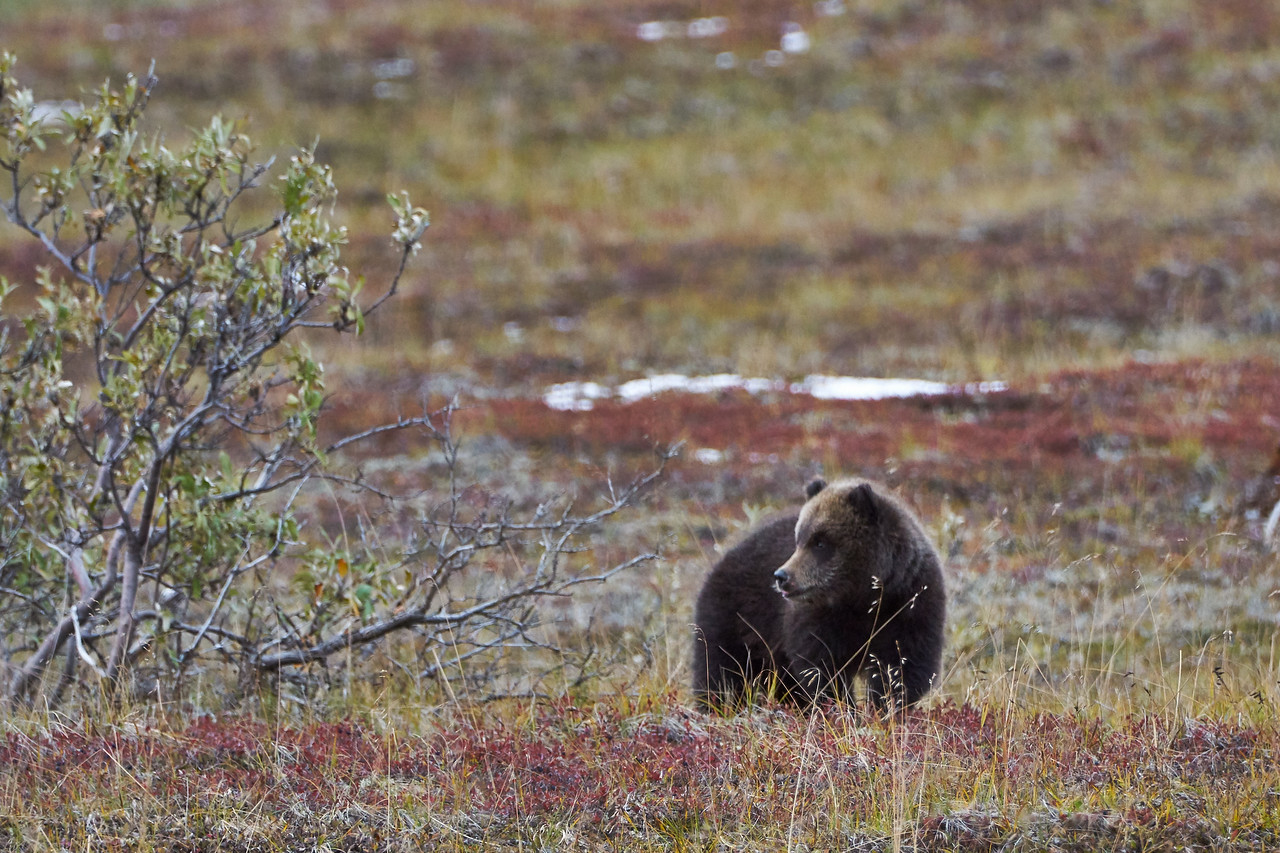 Grizzly Cub - Mom's Close