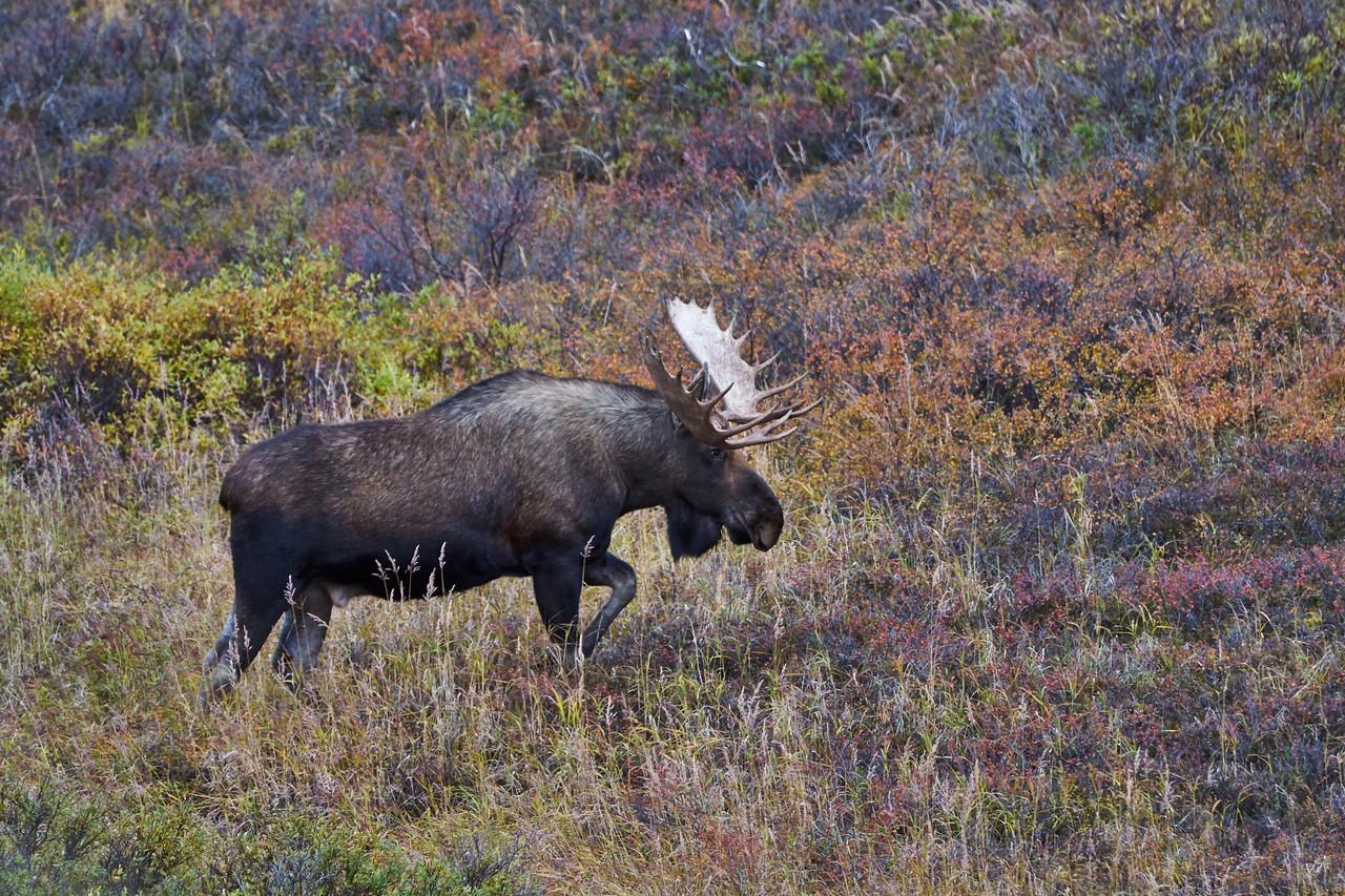 Bull Moose on the Loose