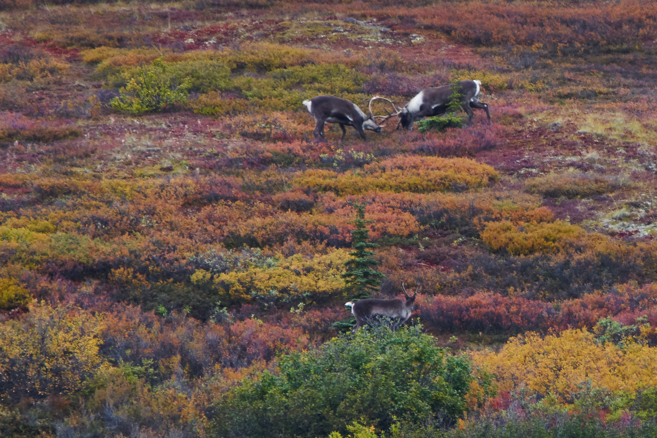 Sparring Caribou - the Lady Looks On