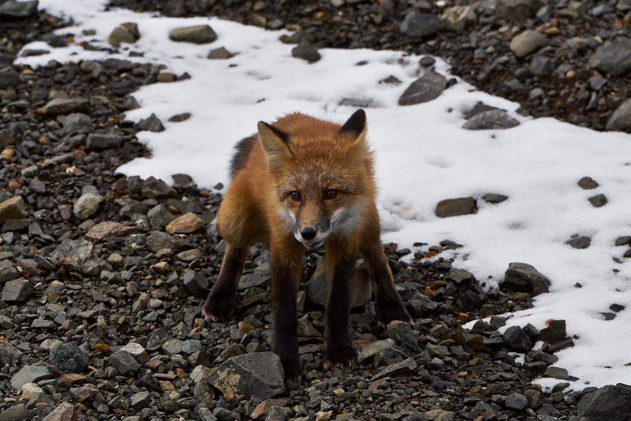 Arctic Fox - summer Coat