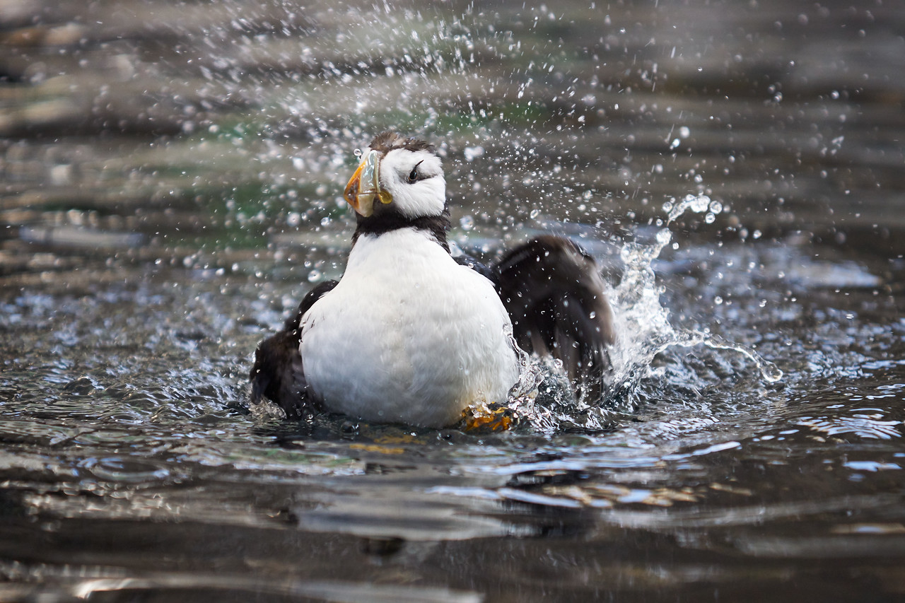 Horned Puffin Preening