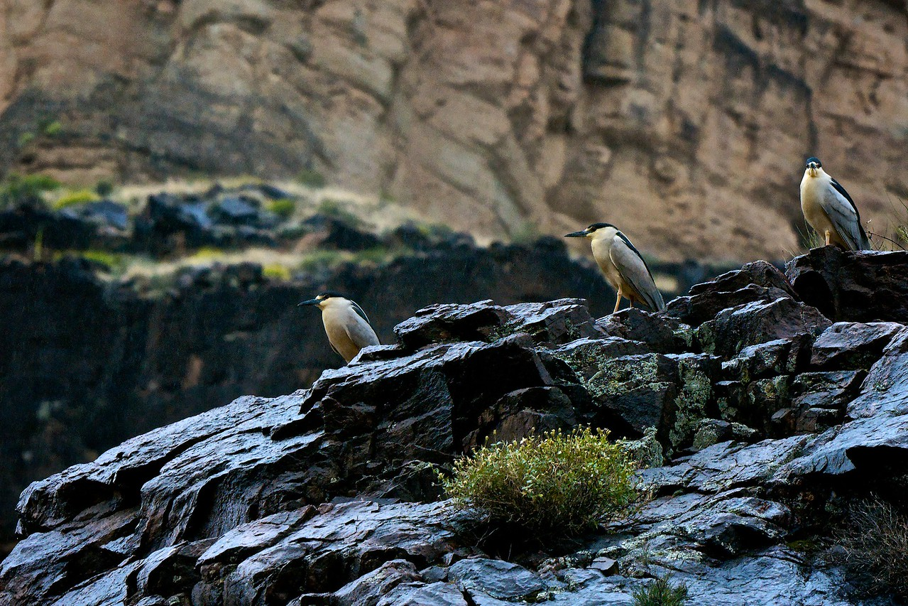 Black crowned night herons