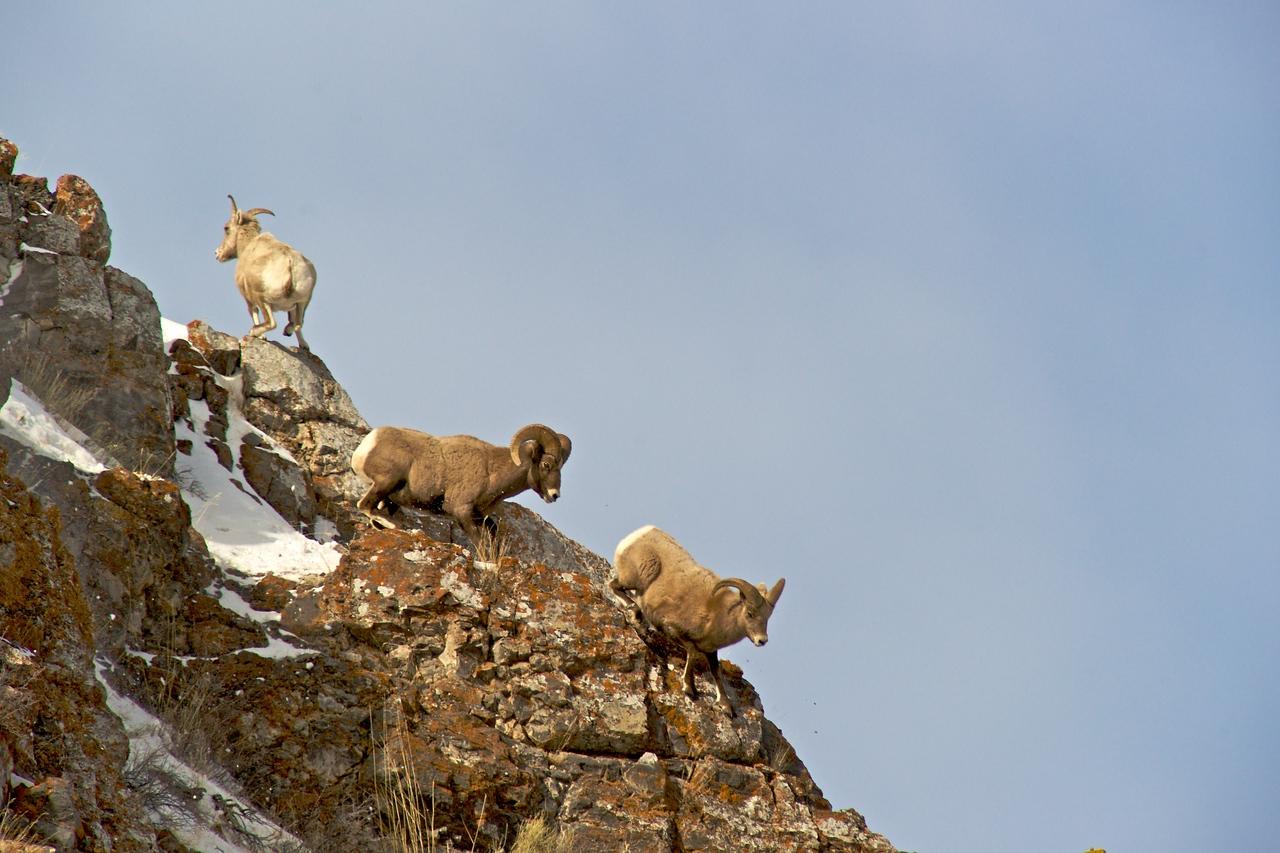 Tetons 2009 - Big Horn Sheep Miller Butte - rival vanquished