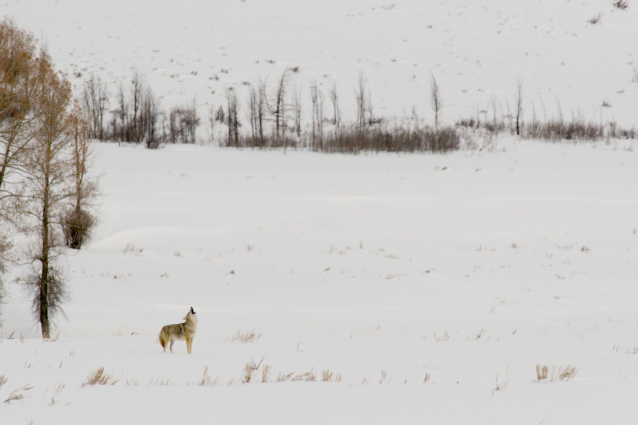 Tetons 2009 - Coyote Gros Ventre roadside