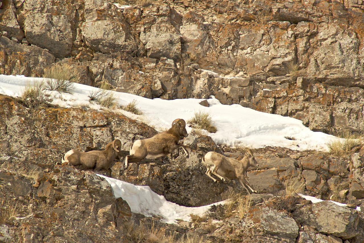 Tetons 2009 - Big Horn Sheep Miller Butte - in pursuit