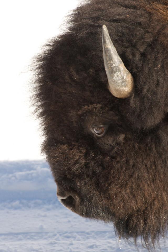 Yellowstone 2009 - Bison