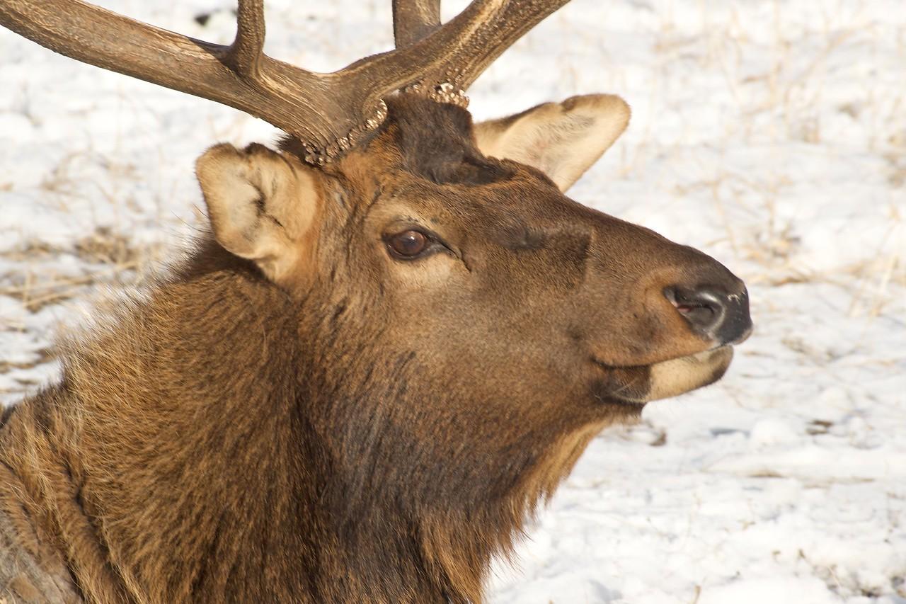 Tetons 2009 - Elk National Elk Refuge