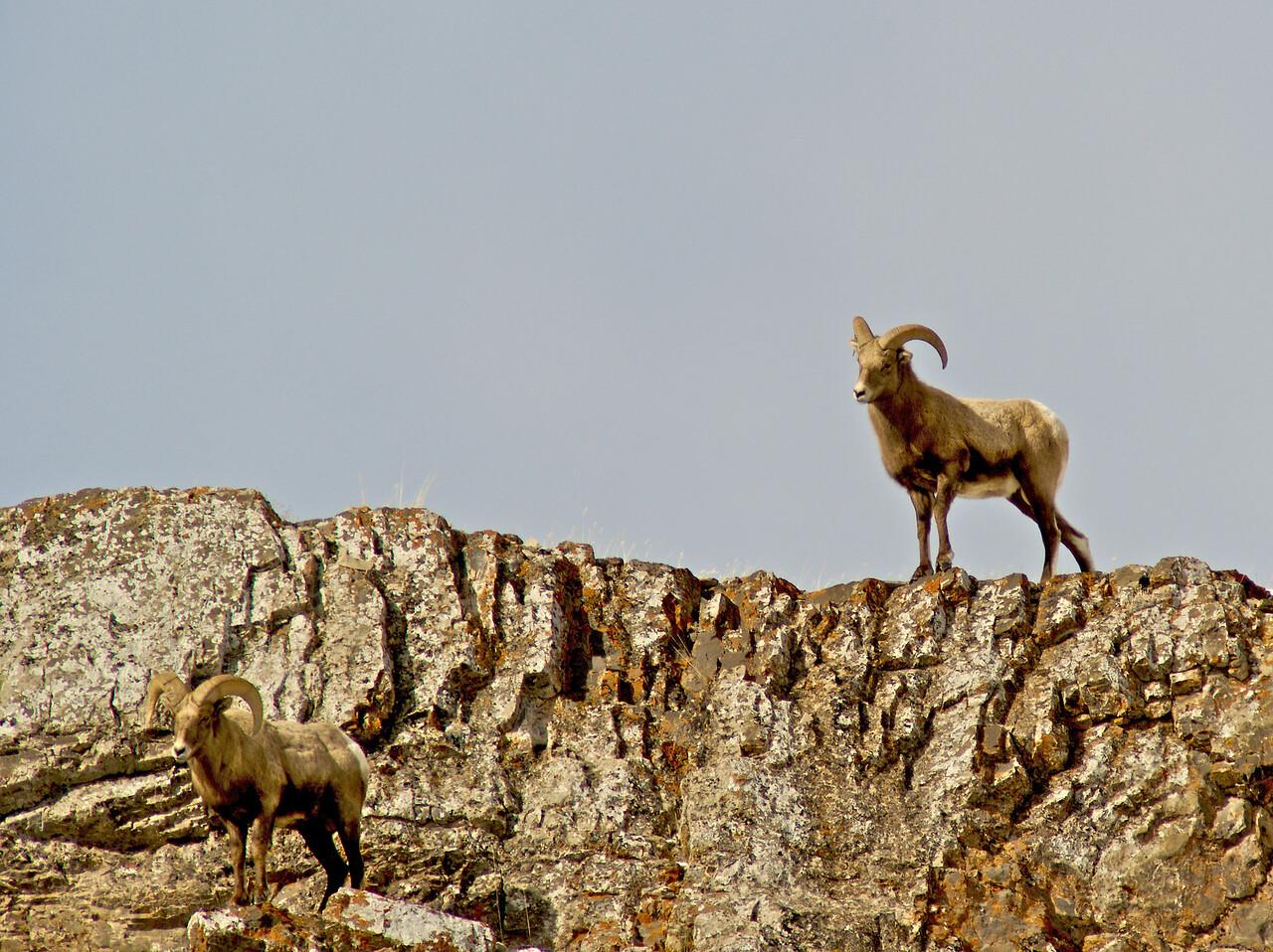 Tetons 2009 - Big Horn Sheep Miller Butte