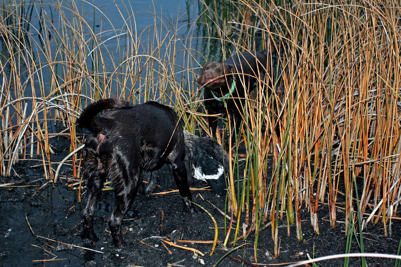 Toby and Misty after their retrieve of a Canadian Goose