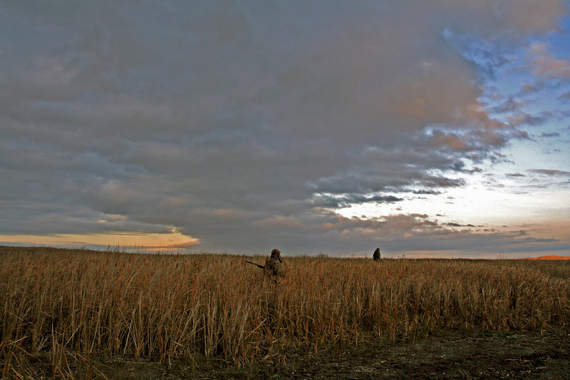 Walking through cattails for pheasants