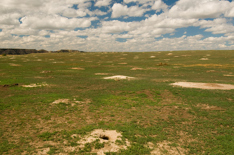TRND-8070-Blacktail Prairie Dog town at Teddy Roosevelt NP