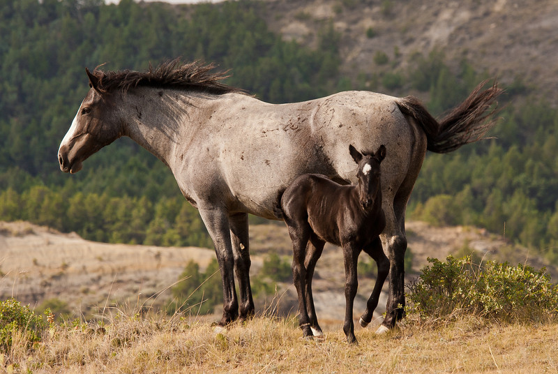 MWH-12012: Teddy Roosevelt wild horse mare and fowl