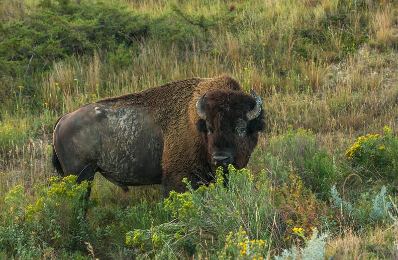 Bull Bison in Stiff Goldenrod