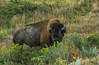 Bull Bison in Stiff Goldenrod