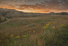 Stiff Goldenrod at sunrise