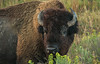 Bull Bison up close