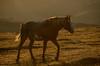 Wild Stallion at sunrise