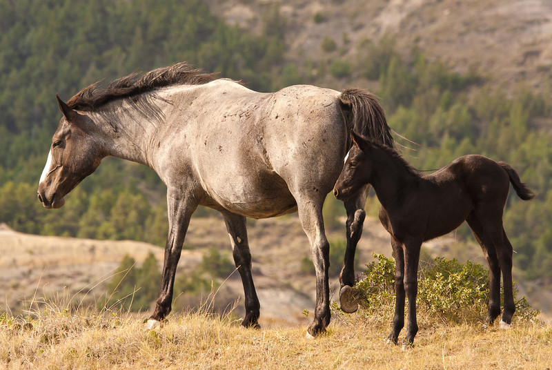 MWH-12008: Wild Horse mare and fowl
