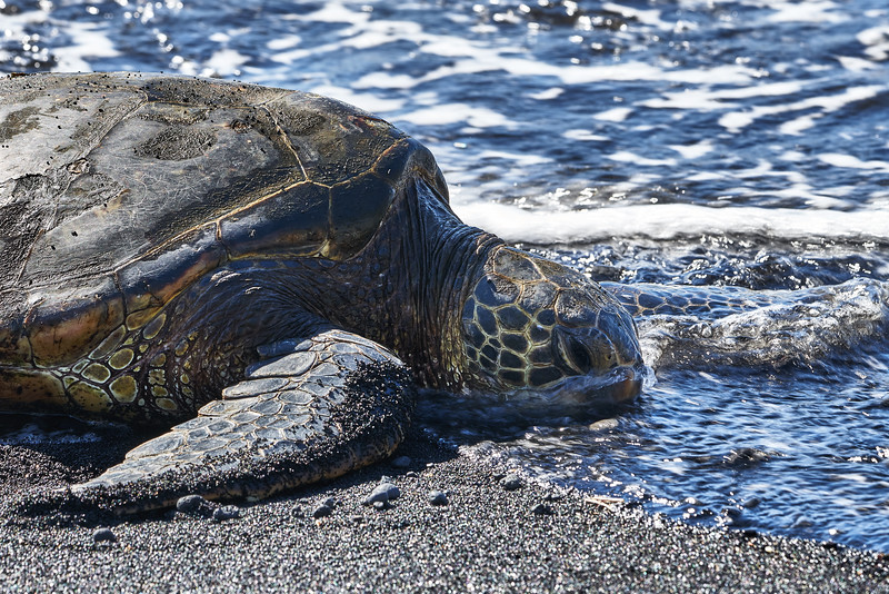 Sea Turtle black sand beach