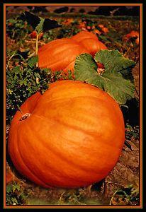 Solvang Pumpkins Solvang CA
