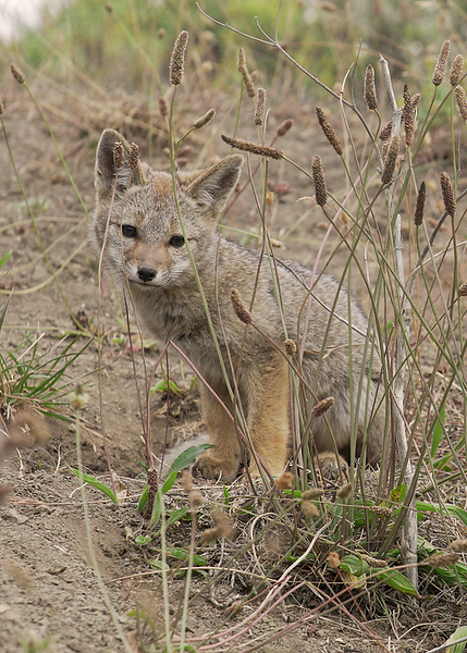Patagonian Grey Fox Pup