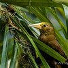Russet-backed Oropendola (subspecies alfredi)