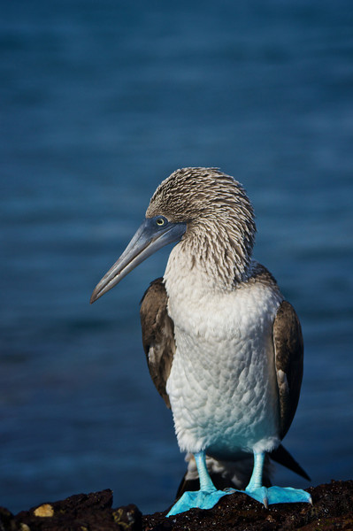 Blue Footed Booby, Floriana Island