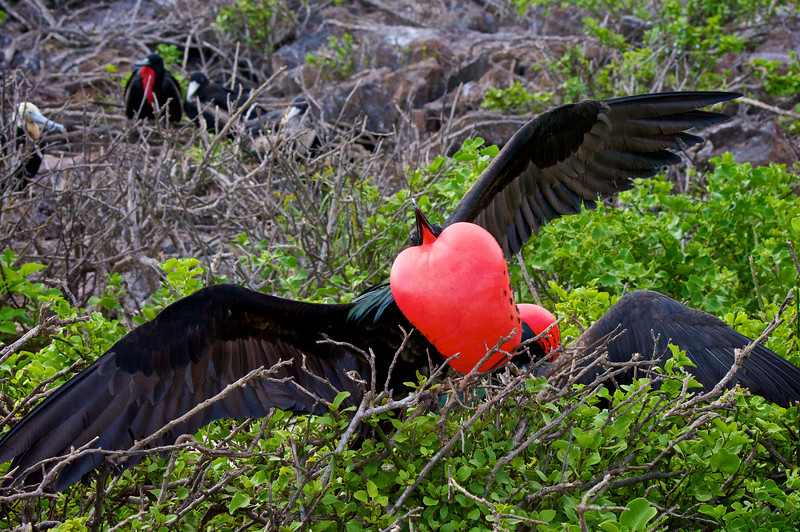 male Great Frigatebird displaying