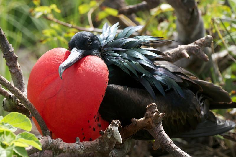 Great Frigatebird male displaying, Tower Island