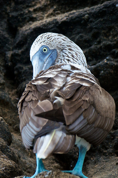 Blue-footed Booby, Isabela