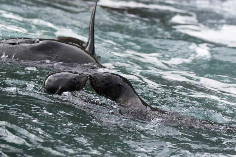 Fur Seals, Isabela