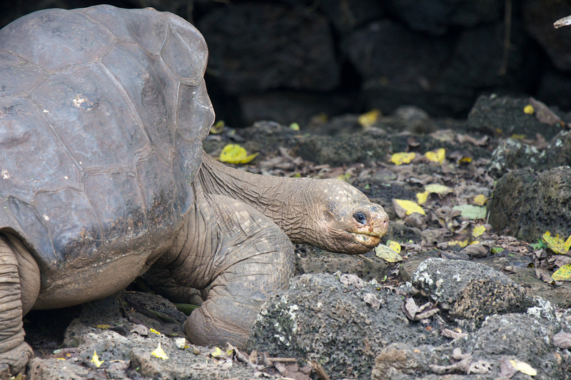 Lonesome George - the last known Galapagos Saddleback Tortise
