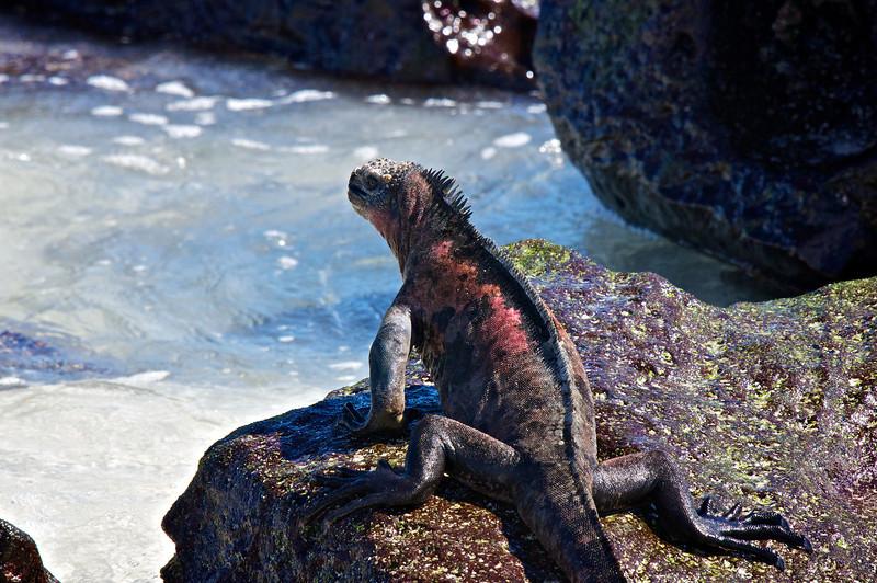 Marine Iguana, Espanola Island