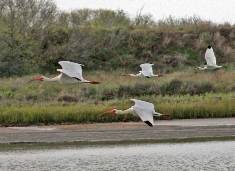 White Ibis - Aransas Bay. Large flocks of White Ibis flew along side of the Skimmer.