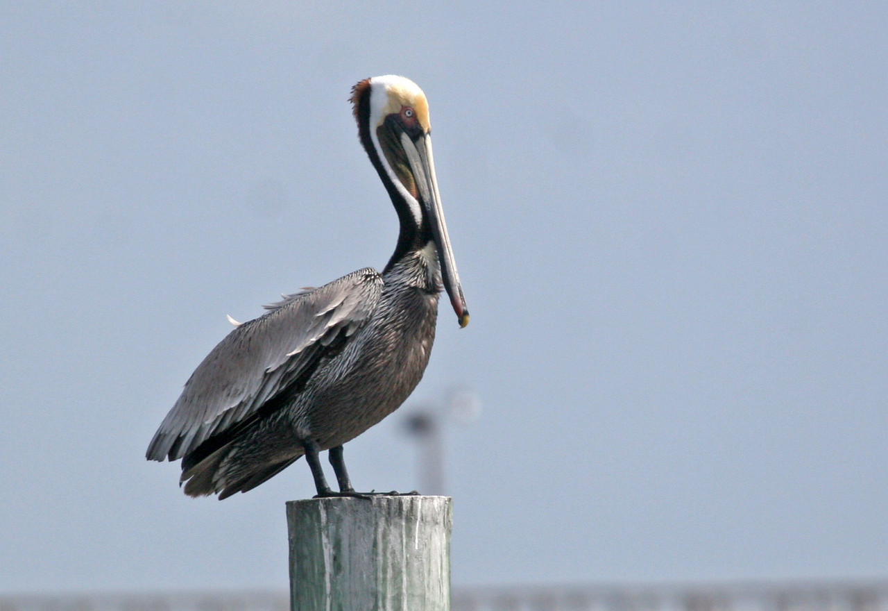 Brown Pelican - Fulton Harbor