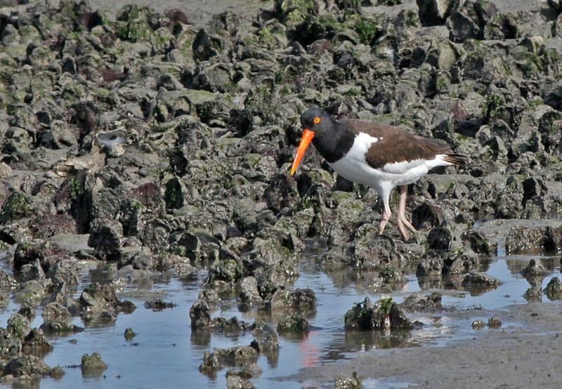 American Oystercatcher - Aransas Bay