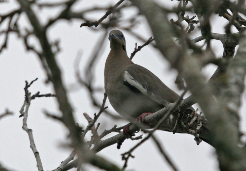 White-winged Dove - Rockport Beach Park