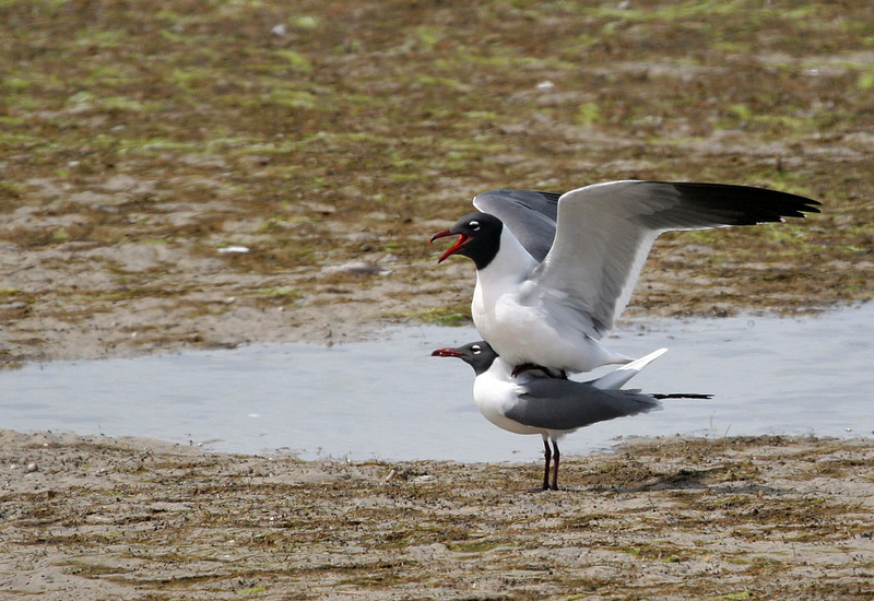 Laughing Gull - Smiling gulls on Rockport Beach.